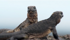 """Marshawn Lynch Narrates The Crazy """"Planet Earth"""" Iguana Chase"""